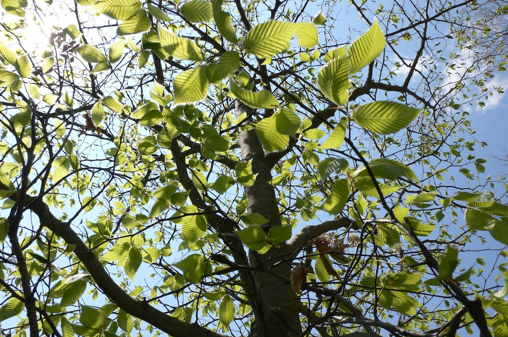 beech-leaves-open-for-sartorias
